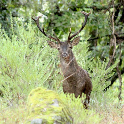 iberian stag fallow deer hunting spain cadiz seville malaga andalusia