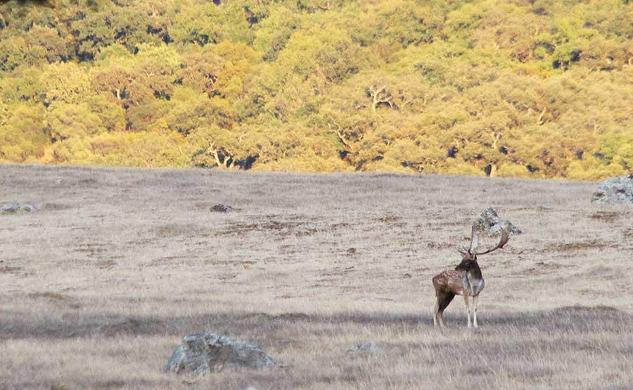 fallow deer hunting in Spain cadiz buck